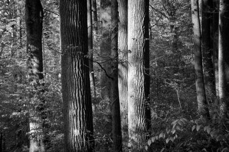 hemlock: Hemlock Trees in Forest Stock Photo