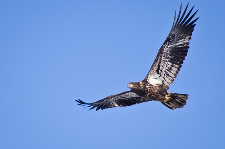 Immature Bald Eagle photo
