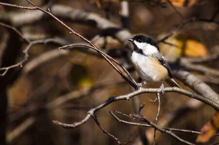 animal limb: Chickadee in Autumn