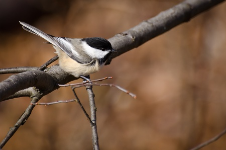 animal limb: Black-Capped Chickadee Perched on a Branch Stock Photo