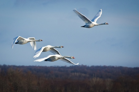 Four White Swans Flying in a Blue Sky