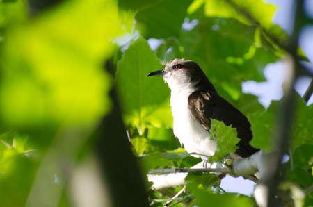 mockingbird: Northern Mockingbird in a Tree
