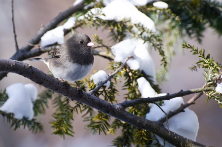 Dark-eyed Junco Perched in Snow photo