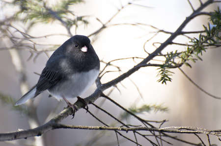 Dark-eyed Junco Perched in Snow Stock Photo - 12049417