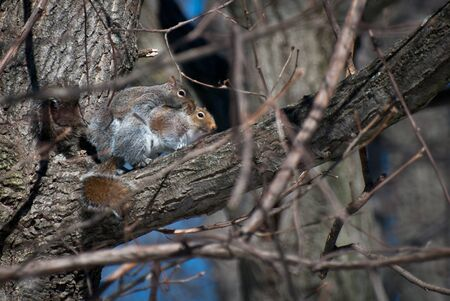 copulate: Mating Squirrels in Spring