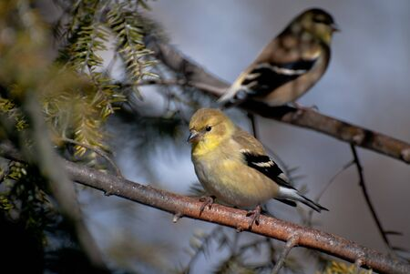Pair of American Goldfinch Perched in a Tree photo