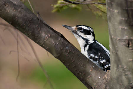Hairy Woodpecker Crouched in a Tree photo
