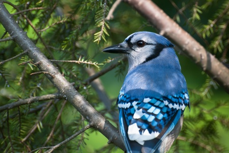 perched: Blue Jay Perched in a Tree Stock Photo