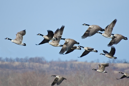 Large Flock of Geese Taking Flight photo