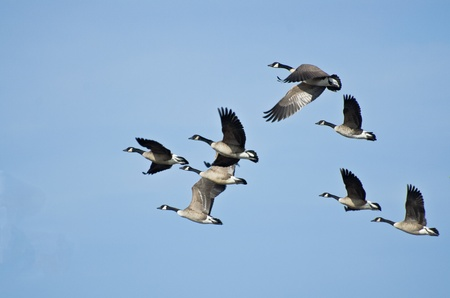 flying geese: Large Flock of Geese Taking Flight