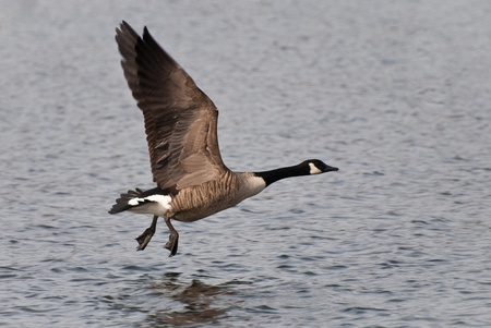 Canada Goose Taking Flight Off of the Water