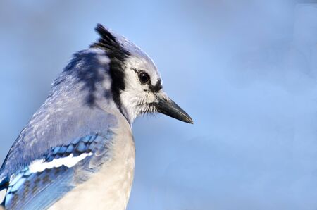 Close Profile of a Blue Jay  photo