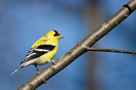 Male American Goldfinch Perched in a Tree Imagens