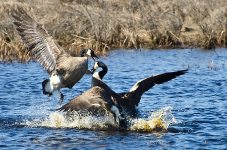 canada goose: Fighting Canada Geese Stock Photo