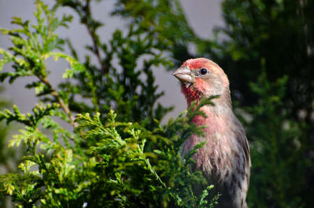 Male House Finch Perched on a Branch Stock Photo - 13359881
