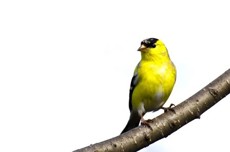 animal limb: Male Goldfinch Perched on a Branch