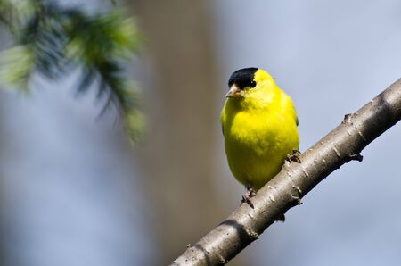 Male Goldfinch Perched on a Branch photo
