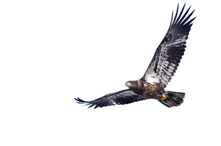Immature Bald Eagle Against a White Background