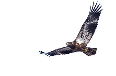 Immature Bald Eagle Against a White Background photo