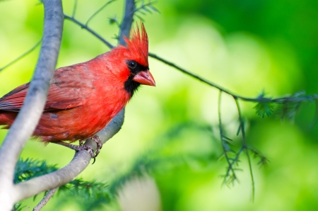 Northern Cardinal Perched in a Tree Banco de Imagens