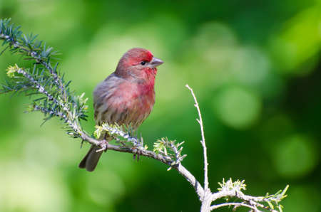 House Finch Perched in a Tree photo