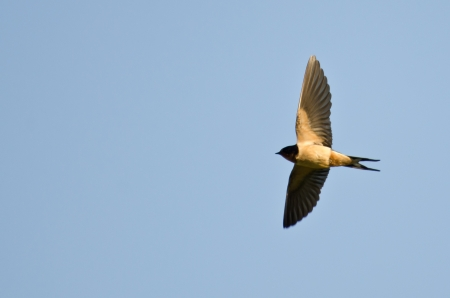 Barn Swallow in Flight photo