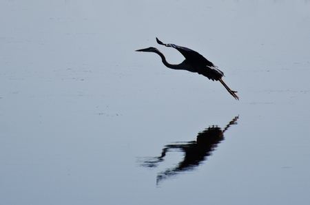 Silhouette of Great Blue Heron Landing Stock Photo - 13798565