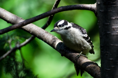 downy woodpecker: Immature Downy Woodpecker Perched in a Tree
