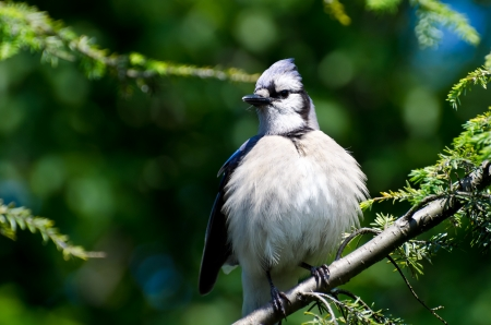 puffed: Young Blue Jay All Puffed Up Stock Photo