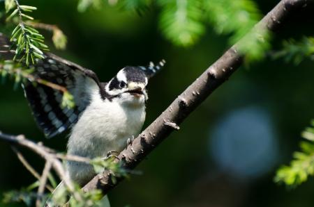 downy woodpecker: Young Downy Woodpecker Taking to Flight