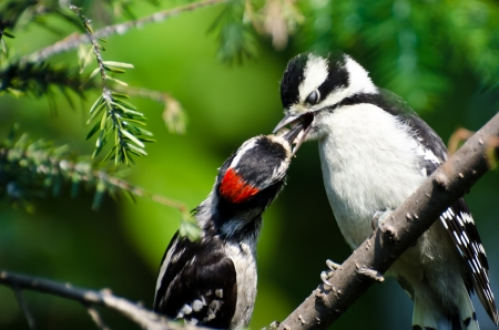 Young Downy Woodpecker Being Fed By Its Father