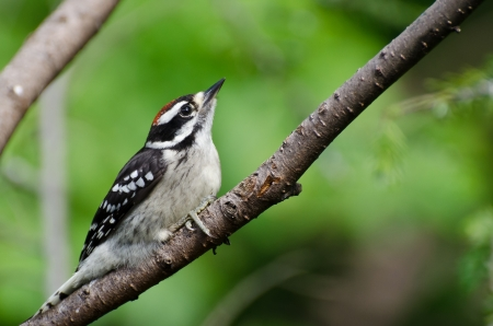 Young Hairy Woodpecker Perched in a Tree photo