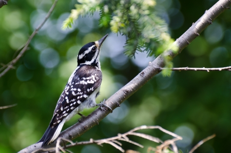 Hairy Woodpecker Perched in a Tree photo