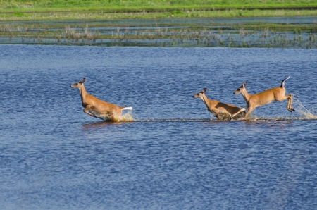Three Startled Deer Running and Leaping Through the Water Reklamní fotografie - 14152458