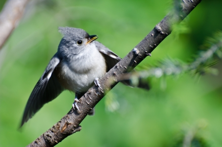 Young Tufted Titmouse Perched in a Tree photo