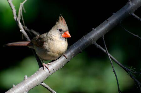 Female Northern Cardinal Perched in a Tree photo