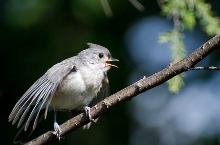 Young Tufted Titmouse Singing in a Tree photo