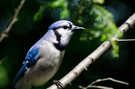 Close Profile of Blue Jay in Summer photo