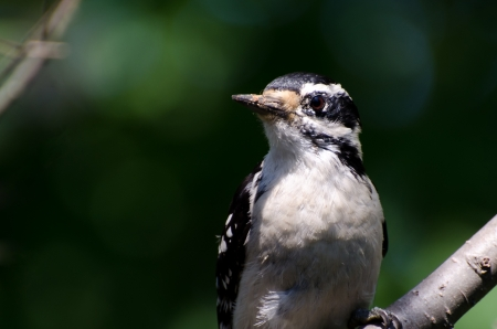 downy woodpecker: Downy Woodpecker Perched in a Tree