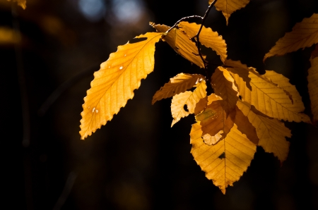 american beech: Autumn Leaves