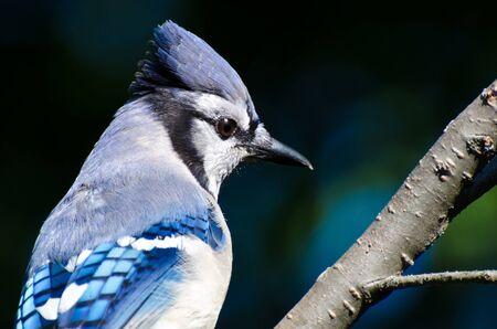 animal limb: Close Up of a Blue Jay
