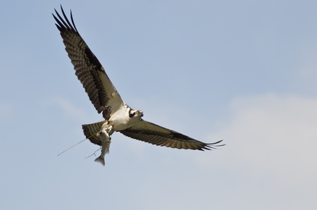 Osprey In Flight Carrying a Fish photo