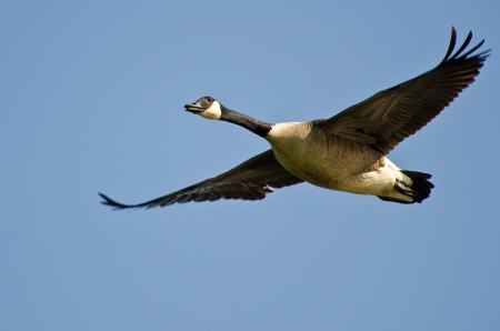 Canada Goose Flying in a Blue Sky photo