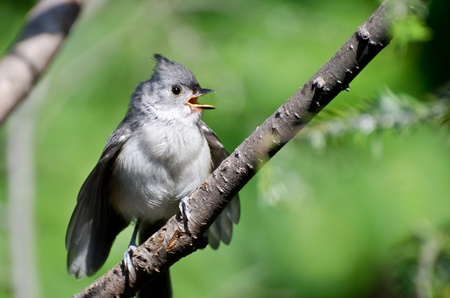 Young Tufted Titmouse Singing in a Tree Stock Photo