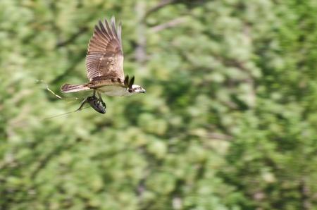 osprey: Osprey In Flight Carrying a Fish Stock Photo
