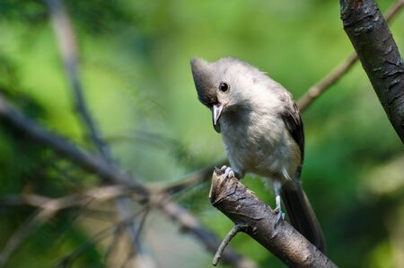 Tufted Titmouse Perched in a Tree photo