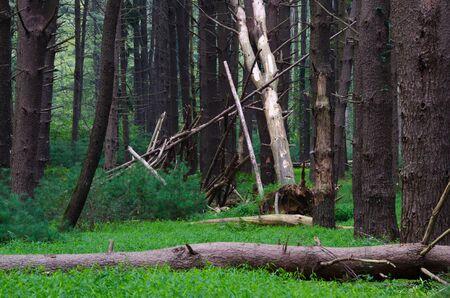 Deep in the Pine Forest Reklamní fotografie