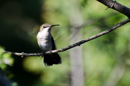 animal limb: Ruby Throated Hummingbird Perched in a Tree