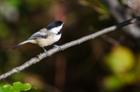 capped: Black-Capped Chickadee Perched in a Tree