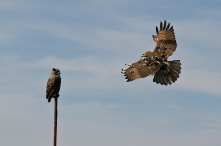 red tailed hawk: Immature Red Tailed Hawk Attacking Artificial Owl